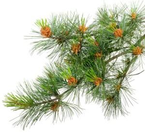the_pine_pollen_1